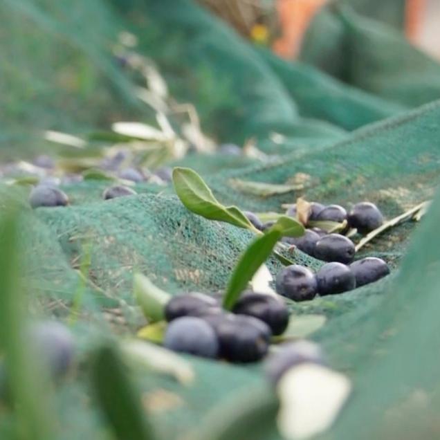 #Tradizioni - La raccolta delle olive